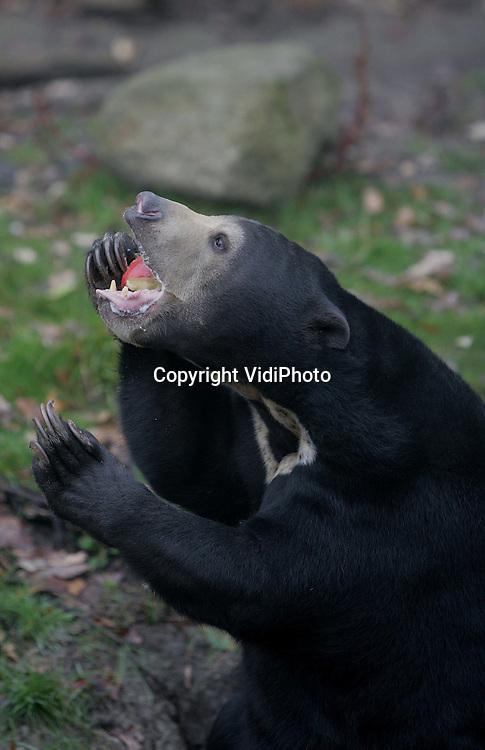 Foto: VidiPhoto..ARNHEM - De Maleisische beren van Burgers' Zoo in Arnhem in actie. De beren zijn altijd actie bezig en zijn daarom razend populair bij de bezoekers.