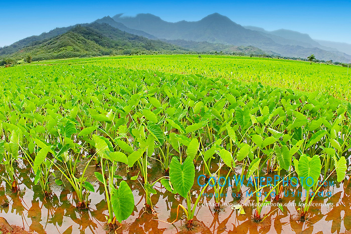 Taro or Kalo plant fields, Colocasia esculenta, (corms are harvested and mashed to make Hawaiian Poi), serving as Hawaiian waterbird sanctuary, Hanalei National Wildlife Refuge, Kauai, Hawaii
