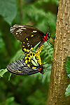 A ventral view of a female (top) and male (bottom) Cain Birdwings, Australia's largest butterfly, are mating while perched on a tree trunk. The varience in coloring between the male and female are evident and readily compared.