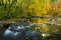 North fork of Silver Creek with autumn colors. Silver Falls State Park, Oregon
