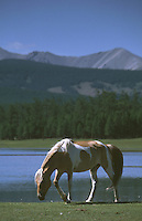 27 JUN 2002 - KHOVSGOL NATIONAL PARK, MONGOLIA - A horse grazes in the Khovsgol National Park. (PHOTO (C) NIGEL FARROW)