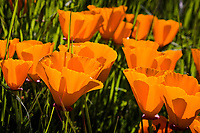 With the sun behind them, these California Poppies display the shadows of their neighbors, like fleeting tattoos.