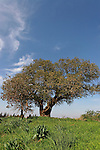 Israel, Sharon region. Mount Tabor Oak tree (Qyercus Ithaburensis) in Karkur