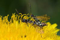 Halmwespe, Cephus spec., stem sawfly, Halmwespen, Cephidae, stem sawflies