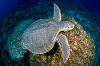 A Kemp's Ridley Sea Turtle, (Lepidochelys kempi), the world's rarest and smallest, makes an extremely rare appearance on a deep reef in Palm Beach, Florida, USA, Atlantic Ocean