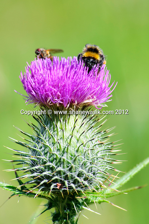 A Scottish thistle in summer