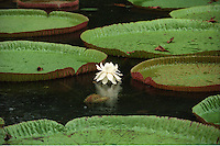 Giant water lilies at the Pamplemousses Botanical Garden, the oldest botanical garden in the Southern Hemisphere, near Port Louis, Mauritius.