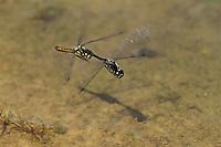 Schwarze Heidelibelle, Tandemflug, Flug, fliegend, Paarung, Eiablage, Sympetrum danae, Black Darter, Black Meadowhawk, Sympétrum noir
