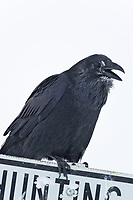 Raven with frosted feathers from cold weather perches on a signpost in Arctic Alaska