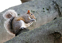 A Squirrel sits alert on a big branch of an oak tree - Free Stock Photo.