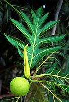 Breadfruit (ulu) tree with single fruit and large leaf