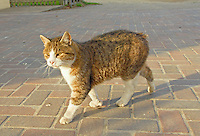 Manx cat on Isle of Man.