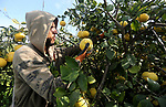 A Palestinian farmer harvests citrus fruits at a farm in the southern of Gaza city, on January 10, 2018. Photo by Mohammed Asad