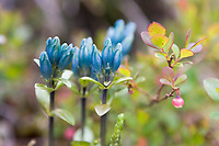 Glaucus gentian and blueberry blossom, tundra plants, Denali National Park, Alaska
