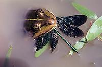 Blauflügel-Prachtlibelle, Prachtlibelle, Männchen wird von Frosch erbeutet, Beute, Calopteryx virgo, bluewing, Beautiful Demoiselle, demoiselle agrion, male