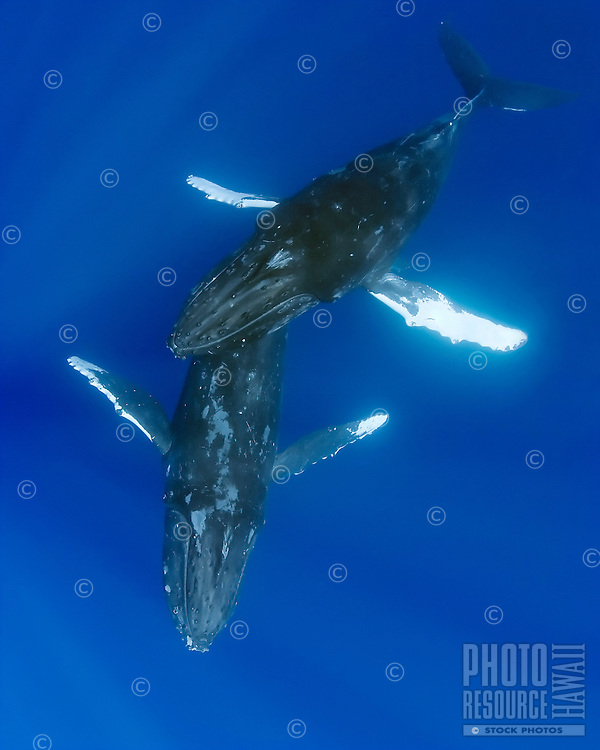 A courting pair of humpback whales, Megaptera novaeangliae, male humpback whale gently gliding over female, Hawai'i.