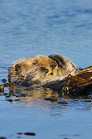Sea Otter (Enhydra lutris) wrapped in kelp--keeps otter from drifting away with the tide while napping.