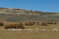 Pronghorn Antelope (Antilocapra americana)--buck guarding harem.  Western U.S., fall.