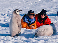 ecotourism, Visitors to the Auster Emperor Penguin Colony, Aptenodytes forsteri, hang out with a group of molting chicks. Antarctica