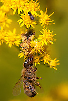 Ambush Bug; Phymata; eating honey bee it has captured; PA, Philadelphia, Morris Arboretum;