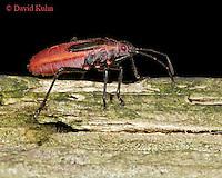 1007-06rr  Boxelder Bug - Boisea trivittata Nymph - © David Kuhn/Dwight Kuhn Photography