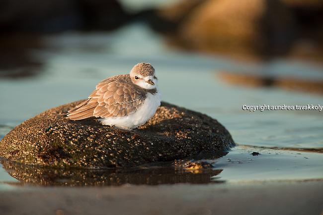 Snowy Plover sitting on a rock,  Charadrius alexandrines, gaviota coast,