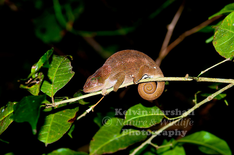 The Amber Mountain Chameleon (Calumma amber)<br /> is endemic to Madagascar and only is known from Montagne d'Ambre in the north of the island, where it occurs between 900 and 1,300 m elevation. Amber Mountain - Northern Madagascar.