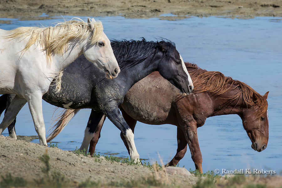 A trio of wild horses, Hopscotch, Streaker and Tecate, arrive at a water hole in Sand Wash Basin Horse Management Area in northwest Colorado.