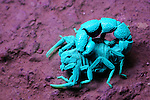 Scorpion under UV light (Orthochirus bicolor), Socotra, Yemen. (Compare with 3034377 under normal light)