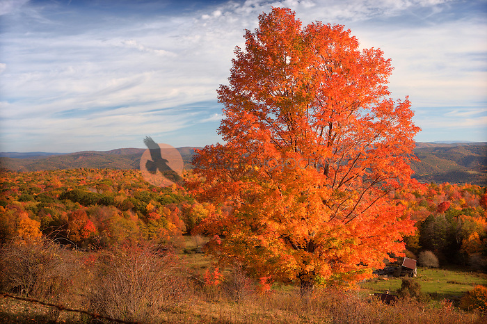 Bright fall color in rural West Virginia mountains with farm scene in foreground and large tree