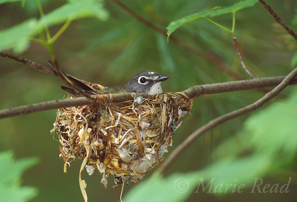 Blue-headed Vireo (Vireo solitarius) male incubating on nest, Michigan, USA<br />