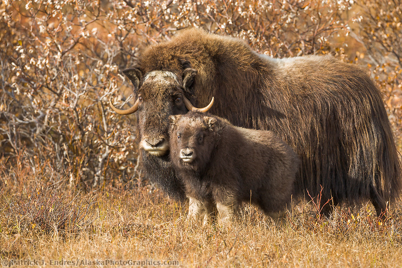 Muskox  Cow and calf of the year on the tundra, Seward Peninsula, arctic Alaska.