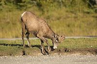 Male Ram in Banff