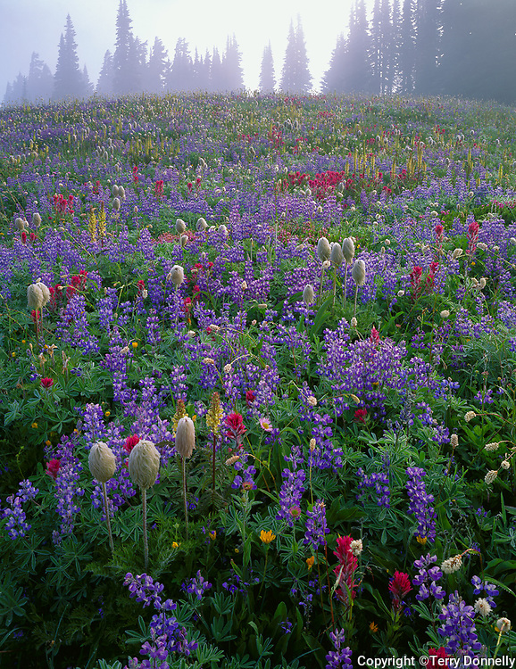 Mount Rainier National Park,  WA  <br /> Wildflower meadow on Mazama ridge in clearing morning fog