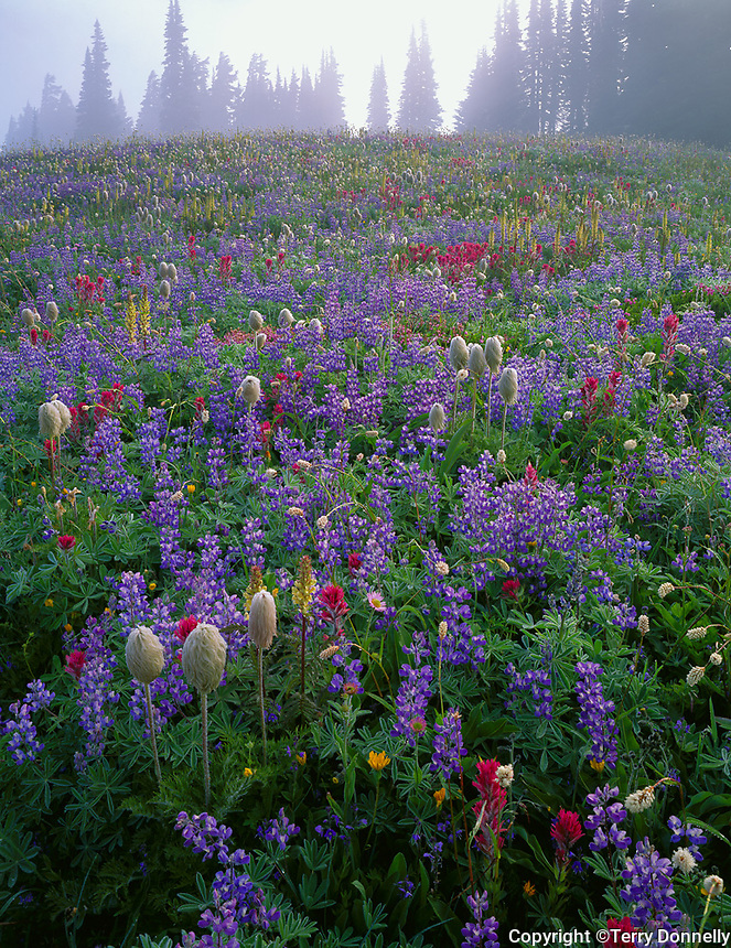 Mount Rainier National Park,  WA  <br /> Wildflower meadow on Mazama ridge in clearing morning fog