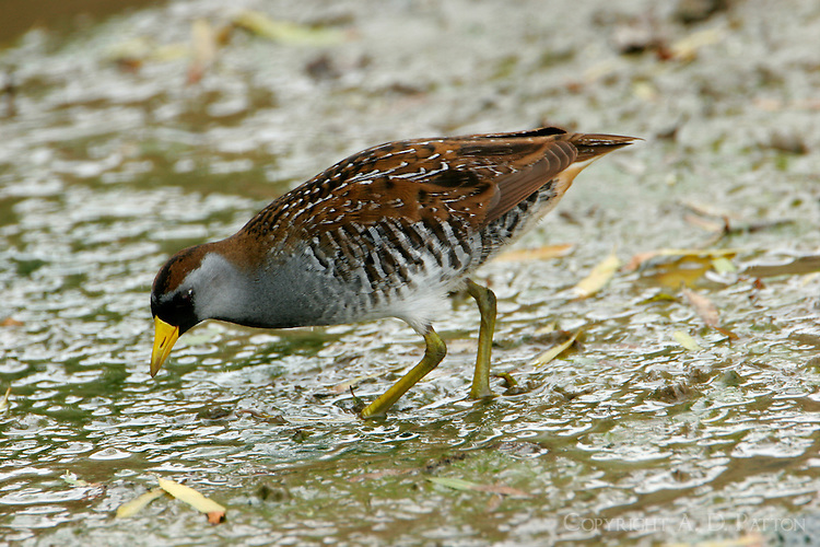 Sora breeding adult feeding at Port Aransas, TX Birding Center pond