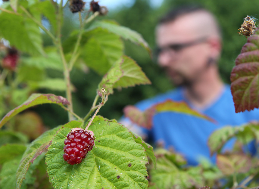 Thomas Feston, a volunteer with the group Urban Abundance picks raspberries at a residence along the banks of Vancouver Lake Thursday June 22, 2016. The group gleans produce that would otherwise spoil and donates part of the harvest to local food banks. (Photo by Natalie Behring for the Columbian)