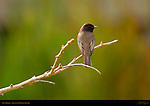 Say's Phoebe, Tyrant Flycatcher, Sepulveda Wildlife Refuge, Southern California