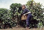 Boy picking coffee beans near San Jose