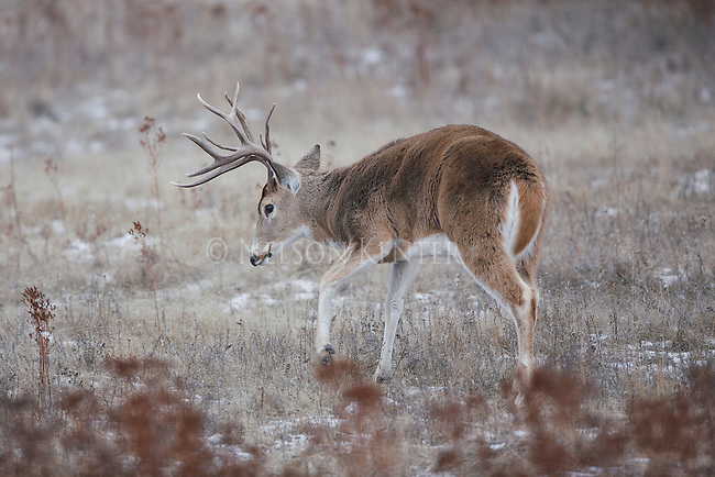 Whitetail Buck Making a Scrape