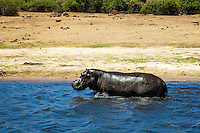 A battle-scarred hippo in the shallow waters of the Chobe River in Chobe National Park, Botswana.