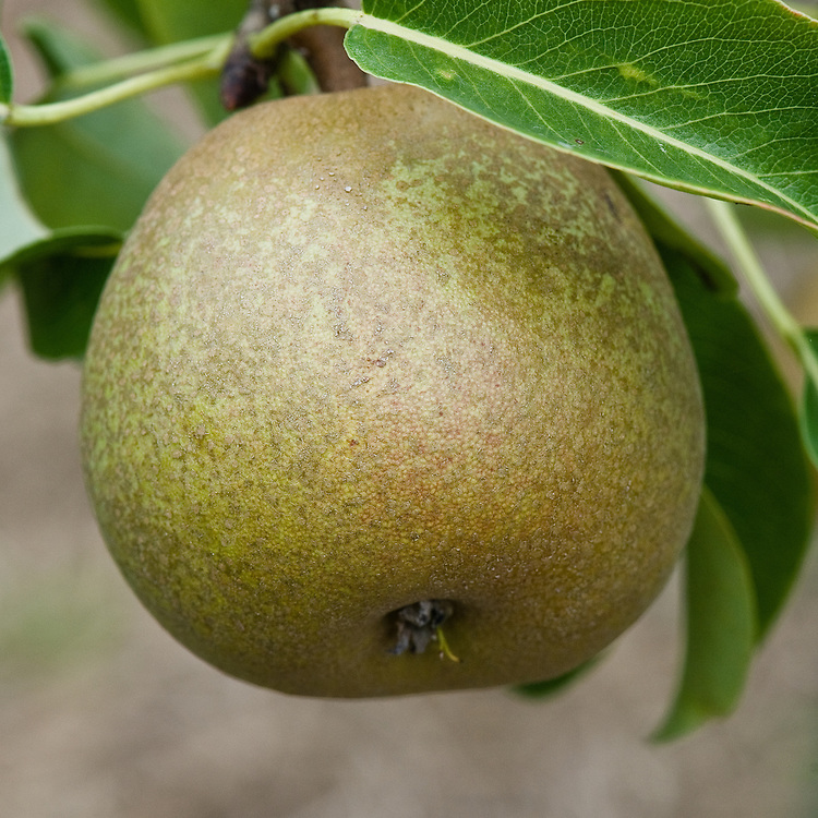 "Pear 'Passe Crassane', early September. A French pear ""raised by M. Boisbunel of Ruen in 1845 and first fruited in 1855. This is a good quality late pear but does not generally ripen well in Britain, requiring a warm wall or fence...[best] after a hot summer or in a warmer climate."" ('Pears' by Jim Arbury and Sally Pinhey)"