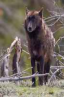 The Gray wolf (Canis lupus) is not always gray. Many wolves, in Yellowstone and elsewhere, are black. It is a genetic color phase, like being blonde or brunette. This wolf is the alpha male of the Canyon Pack, in his prime.