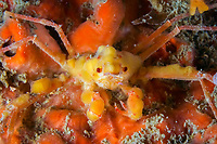 Long-legged spider crab, Macropodia rostrata, Britany, France, Europe, East Atlantic