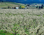 Hood River County, OR   <br /> Blooming pear orchards with distant barns in the Hood River Valley near Pine Grove