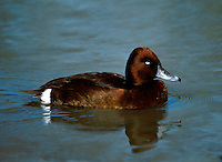 Ferruginous Duck Aythya nyroca L 38-42cm. Attractive diving duck. In flight, all birds show striking white wingbar on upperwing, white underwings and white belly. In all birds, cap is peaked and bill is mainly grey; pale band separates grey from dark tip. Sexes are separable with care. Adult male has rich, reddish brown plumage, darkest on back, almost black on rump and tail. Has white stern and white belly (latter only visible in flight) and white eye. Adult female is similar to adult male but reddish colouration is duller and eye is dark. Juvenile is similar to adult female but duller colours. Voice Mostly silent. Status Scarce visitor, mainly outside breeding season. Species' status is confused by presence of undoubted escapees from captivity. Favours lakes and flooded gravel pits.