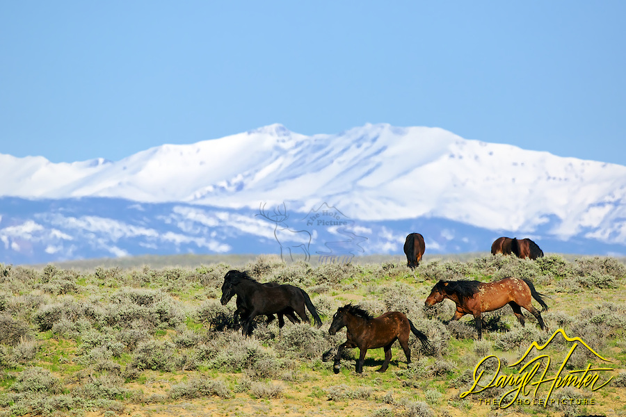 Running mustangs, McCullough Peaks, Cody Wyoming, the Absaroka Mountains tower in the background