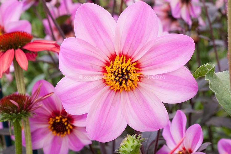 Dahlia 'Candy Eyes' aka 'Mystic Dreamer' pink flowers, single type
