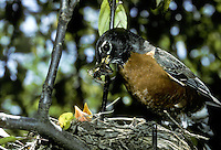 Robin, Turdus migratorius, at nest brining insect food for nestling