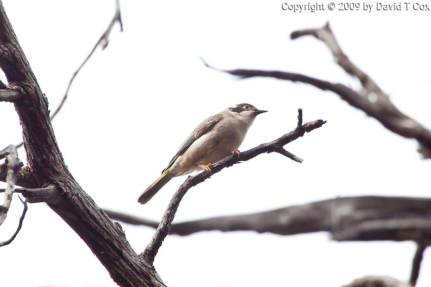 Brown-Headed Honeyeater, near Arkaroo Rock,  Flinders Range, SA, Australia